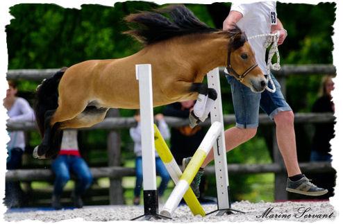 Cinnammon 39 s sirius le saut d 39 obstacles avec le cheval miniature - Frison saut d obstacle ...